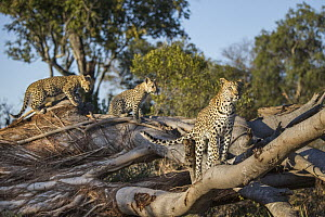 Leopard (Panthera pardus) mother and four-month-old cubs, Jao Reserve, Botswana - Suzi Eszterhas