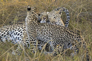 Leopard (Panthera pardus) four-month-old cubs playing with mother, Jao Reserve, Botswana - Suzi Eszterhas