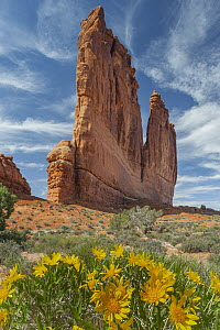 Mule-ears (Wyethia amplexicaulis) flowers at the The Organ, Arches National Park, Utah  -  Jeff Foott