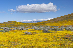 California Poppy (Eschscholzia californica) and Goldfield (Lasthenia californica) flowers, super bloom, Antelope Valley, California  -  Jeff Foott