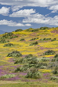 Purple Owl's Clover (Castilleja exserta) and Goldfield (Lasthenia californica) flowers, super bloom, Carrizo Plain National Monument, California  -  Jeff Foott
