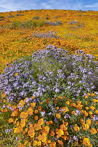 California Poppy (Eschscholzia californica) and Lacy Phacelia (Phacelia tanacetifolia) flowers, super bloom, super bloom, Antelope Valley, California - Jeff Foott