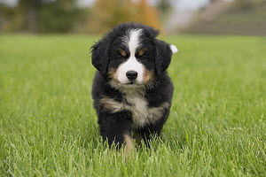 Bernese Mountain Dog (Canis familiaris) puppy, North America  -  Mark Raycroft