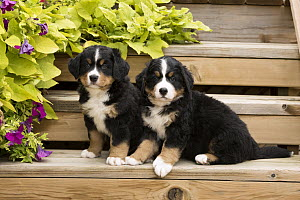 Bernese Mountain Dog (Canis familiaris) puppies, North America  -  Mark Raycroft
