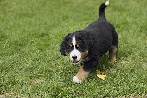 Bernese Mountain Dog (Canis familiaris) puppy running, North America  -  Mark Raycroft