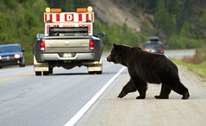 Grizzly Bear (Ursus arctos horribilis) crossing road, North America - Mark Raycroft
