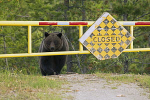 Grizzly Bear (Ursus arctos horribilis) on road, North America - Mark Raycroft