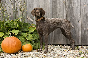 German Shorthaired Pointer (Canis familiaris) in autumn, North America  -  Mark Raycroft