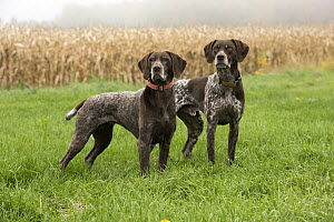 German Shorthaired Pointer (Canis familiaris) pair, North America  -  Mark Raycroft