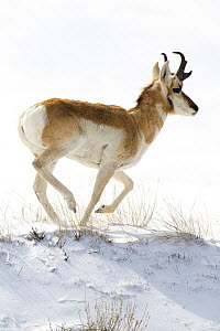 Pronghorn Antelope (Antilocapra americana) running in winter, North America  -  Mark Raycroft