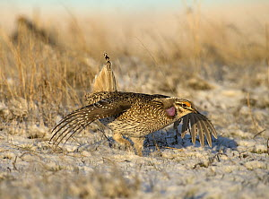 Sharp-tailed Grouse (Tympanuchus phasianellus) in courtship display, North America - Mark Raycroft
