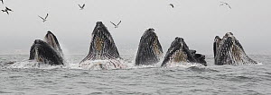 Humpback Whale (Megaptera novaeangliae) pod gulp feeding on Northern Anchovy (Engraulis mordax), Monterey Bay, California  -  Chase Dekker