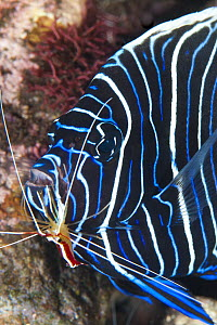 Emperor Angelfish (Pomacanthus imperator) juvenile being cleaned by Scarlet Cleaner Shrimp (Lysmata amboinensis), Tulamben, Bali, Indonesia - Gary Bell/ Oceanwide