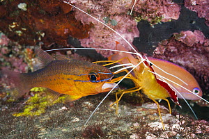 Scarlet Cleaner Shrimp (Lysmata amboinensis) cleaning mouth of Goldbelly Cardinalfish (Apogon apogonides), Tulamben, Bali, Indonesia - Gary Bell/ Oceanwide