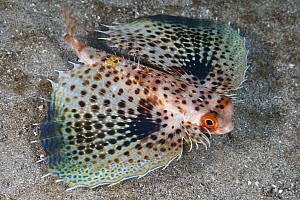 Oriental Flying Gurnard (Dactyloptena orientalis) with pectoral fins extended in defense posture, Anilao, Philippines  -  Gary Bell/ Oceanwide