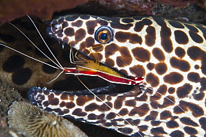 Scarlet Cleaner Shrimp (Lysmata amboinensis) cleaning Honeycomb Moray Eel (Gymnothorax favagineus), Tulamben, Bali, Indonesia - Gary Bell/ Oceanwide