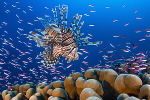 Common Lionfish (Pterois volitans) hunting Basslets (Pseudanthias sp), Christmas Island, Australia - Gary Bell/ Oceanwide
