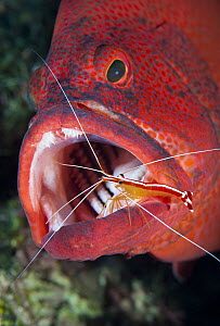 Scarlet Cleaner Shrimp (Lysmata amboinensis) cleaning mouth of Tomato Grouper (Cephalopholis sonnerati), Great Barrier Reef, Australia  -  Gary Bell/ Oceanwide