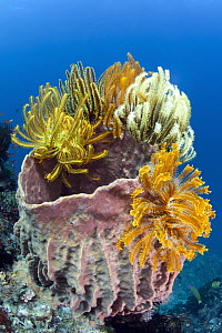 Feather Star (Oxycomanthus sp) group on Giant Barrel Sponge (Xestospongia testudinaria) in coral reef, Great Barrier Reef, Australia  -  Gary Bell/ Oceanwide