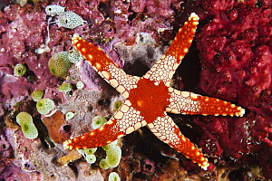 Candy Cane Sea Star (Fromia monilis), Anilao, Philippines  -  Gary Bell/ Oceanwide