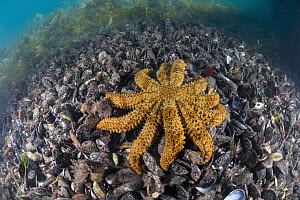 Sea Star (Coscinasterias muricata) on mussels, Port Phillip Bay, Mornington Peninsula, Victoria, Australia - Gary Bell/ Oceanwide