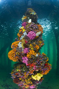 Piling with sponges, tunicates, and ascidians, Yorke Peninsula, South Australia, Australia  -  Gary Bell/ Oceanwide