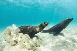Cape Fur Seal (Arctocephalus pusillus) pair, Port Phillip Bay, Mornington Peninsula, Victoria, Australia - Gary Bell/ Oceanwide