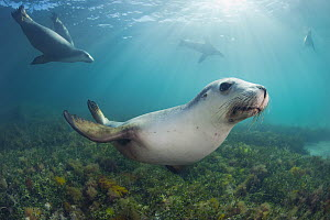 Australian Sea Lion (Neophoca cinerea) group, Hopkins Island, South Australia, Australia  -  Gary Bell/ Oceanwide