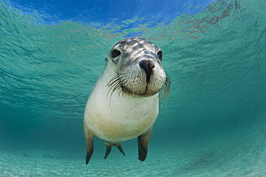 Australian Sea Lion (Neophoca cinerea), Hopkins Island, South Australia, Australia  -  Gary Bell/ Oceanwide
