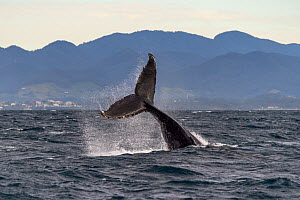 Humpback Whale (Megaptera novaeangliae) tail slapping, Coffs Harbor, Solitary Islands Marine Park, New South Wales, Australia  -  Gary Bell/ Oceanwide