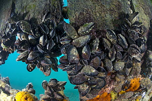 Mediterranean Mussel (Mytilus galloprovincialis) group, Port Phillip Bay, Mornington Peninsula, Victoria, Australia - Gary Bell/ Oceanwide