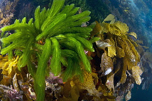Kelp and algae, Port Phillip Bay, Mornington Peninsula, Victoria, Australia - Gary Bell/ Oceanwide