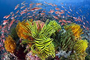 Sea Goldie (Pseudanthias squamipinnis) school in coral reef with feather stars, Great Barrier Reef, Queensland, Australia  -  Gary Bell/ Oceanwide