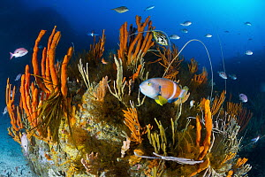 Temperate deep water reef with sponges, sea whips, and feather stars, Governor Island Marine Reserve, Bicheno, Tasmania, Australia  -  Gary Bell/ Oceanwide