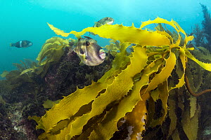 Six-spined Leatherjacket (Meuschenia freycineti) group amongst kelp, Port Phillip Bay, Mornington Peninsula, Victoria, Australia - Gary Bell/ Oceanwide