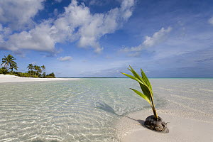 Coconut Palm (Cocos nucifera) fruit germinating on tropical beach, Keeling Islands, Australia  -  Gary Bell/ Oceanwide