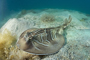 Southern Fiddler Ray (Trygonorrhina fasciata), Port Phillip Bay, Mornington Peninsula, Victoria, Australia - Gary Bell/ Oceanwide