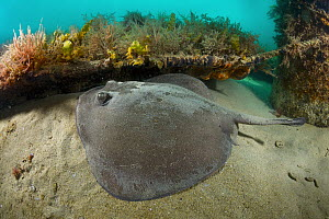 Stingaree (Trygonoptera sp), Port Phillip Bay, Mornington Peninsula, Victoria, Australia - Gary Bell/ Oceanwide