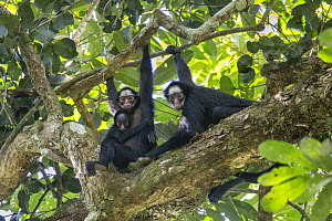 White-whiskered Spider Monkey (Ateles marginatus) mother and young in tree with another female, Amazon, Brazil  -  Suzi Eszterhas