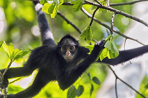 White-whiskered Spider Monkey (Ateles marginatus), Amazon, Brazil  -  Suzi Eszterhas