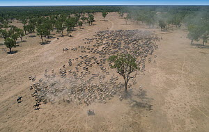 Domestic Cattle (Bos taurus) herd being herded by cowboys, Australia  -  Martin Willis
