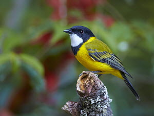 Golden Whistler (Pachycephala pectoralis) male, Atherton Tableland, Queensland, Australia  -  Martin Willis