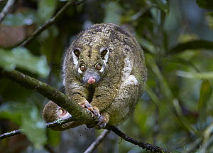 Green Ringtail Possum (Pseudochirops archeri), Atherton Tableland, Queensland, Australia  -  Martin Willis