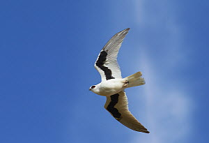 Letter-winged Kite (Elanus scriptus) flying, Queensland, Australia  -  Martin Willis