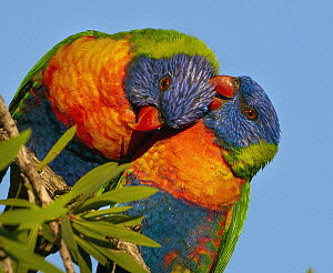Rainbow Lorikeet (Trichoglossus haematodus) pair preening during courtship, Magnetic Island, Queensland, Australia  -  Martin Willis