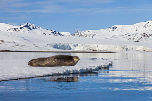 Bearded Seal (Erignathus barbatus) on ice floe, Trygghamna, Svalbard, Norway  -  Heike Odermatt