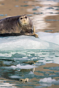 Bearded Seal (Erignathus barbatus) on ice floe, Magdalenefjorden, Svalbard, Norway  -  Heike Odermatt