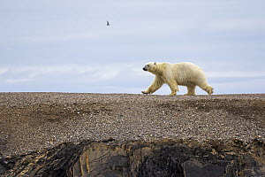 Polar Bear (Ursus maritimus) walking across open ground, Murchisonfjorden, Nordaustlandet, Svalbard, Norway  -  Heike Odermatt