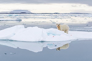Polar Bear (Ursus maritimus) on ice floe, Svalbard, Norway  -  Heike Odermatt