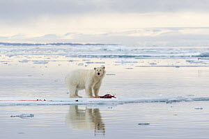 Polar Bear (Ursus maritimus) with prey, Svalbard, Norway  -  Heike Odermatt